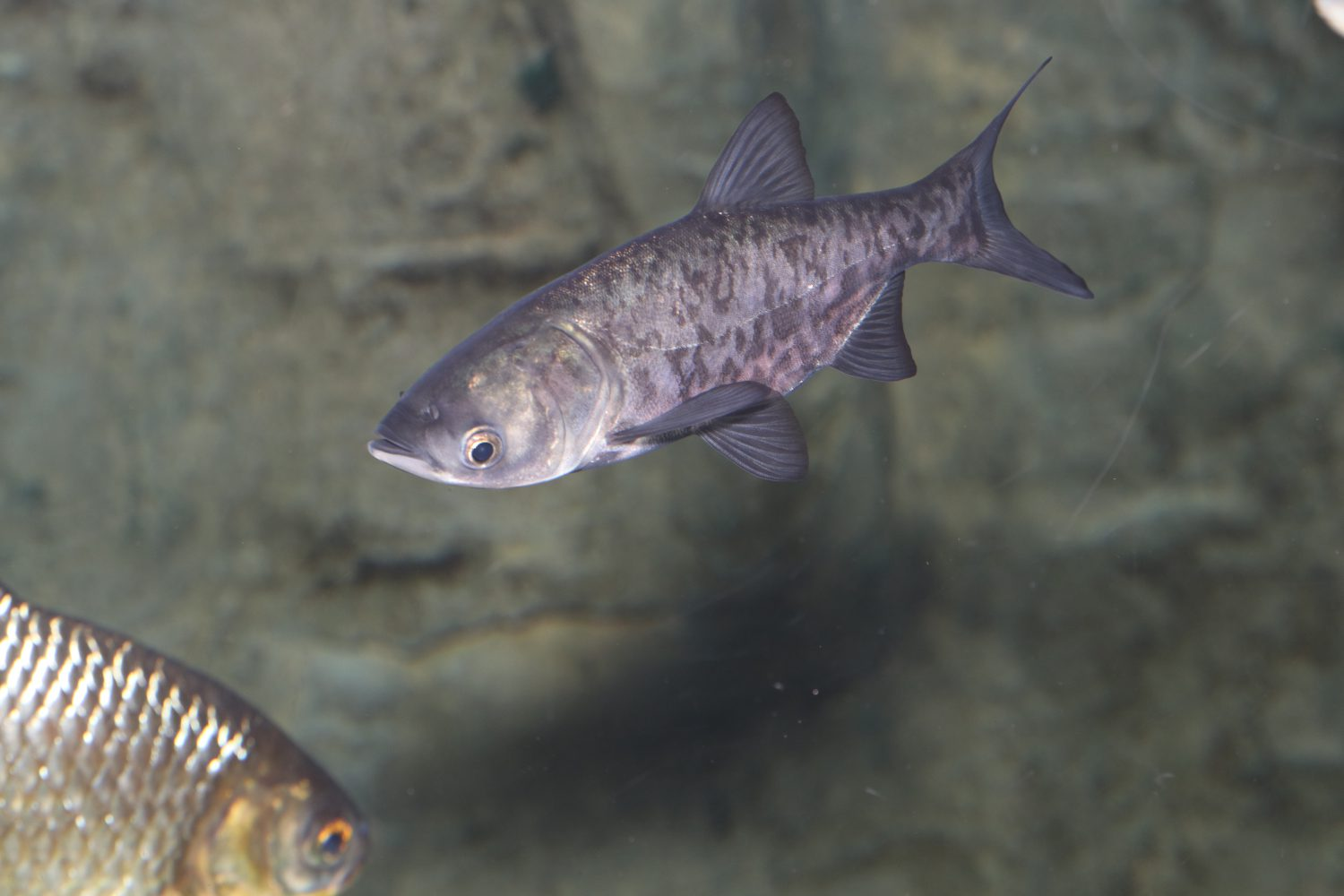 Juvenile Bighead Carp at the Toronto Zoo exhibit