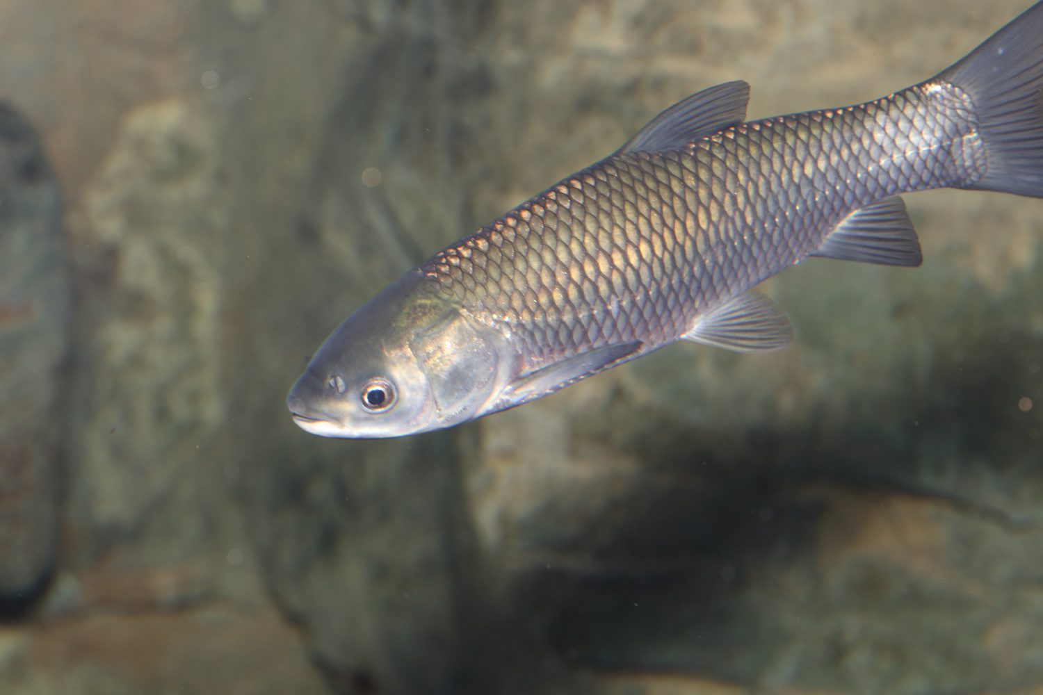 Juvenile Grass Carp at the Toronto Zoo exhibit