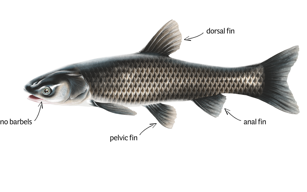 Black Carp Identification white background